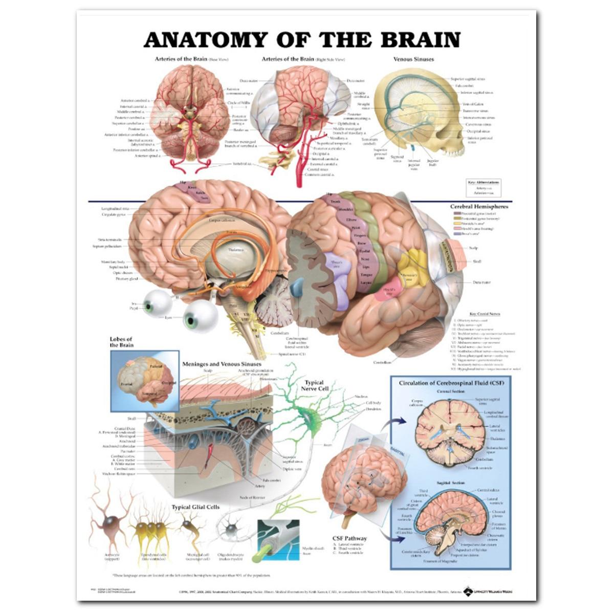 60x80cm Human Anatomy Brain Art Silk Poster Print Inch Body Map Wall