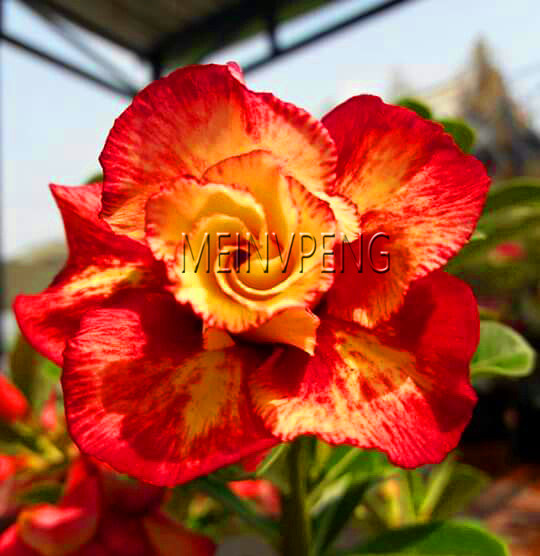 New Fresh Unique Gold Red Mixed Desert Rose Flowers Plant Perennial DIY Home Garden Bonsai Pot Blue Color Adenium Obesum P