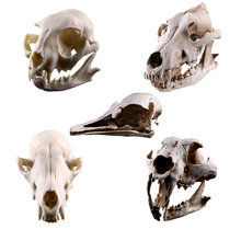 Creative Simulation Wild Animals Skull Resin Craftwork Skullcandy Specimen Photography Props
