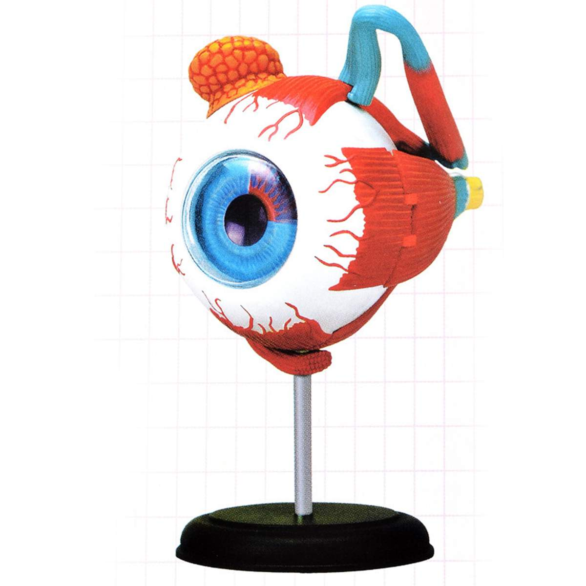 4D Anatomical Human Eyes Model Anatomy Medical Science Eye Ball Model School Educational Human Eyes Teaching Accessory Part New