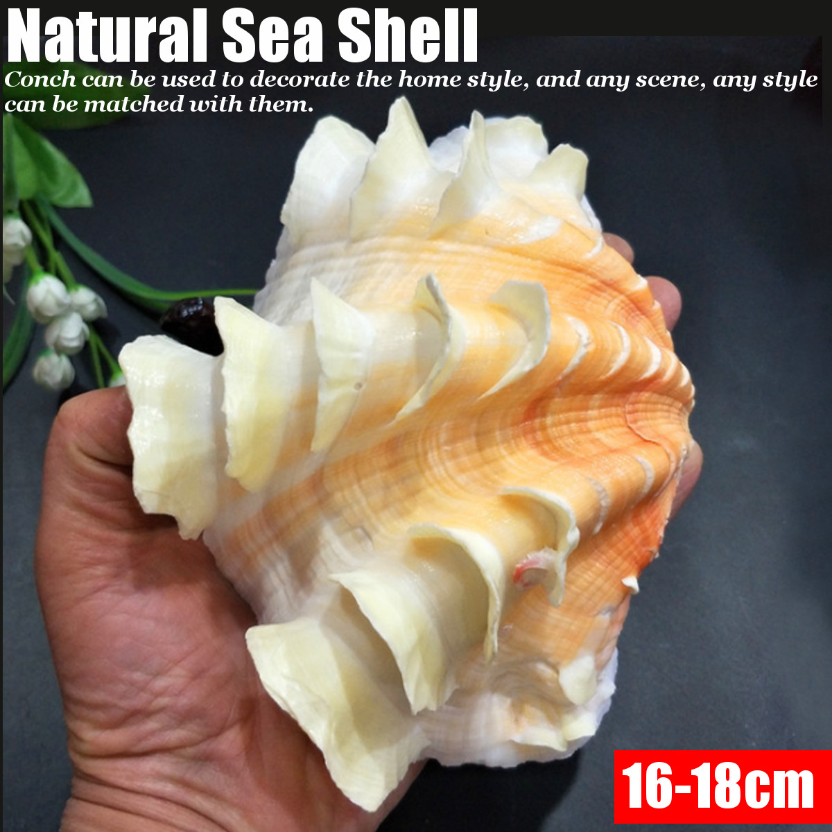 16-18cm Natural Sea Shell Conch Collectible Seashell Home Furnishing Marine Sea Decor Fish Tank Accessories Aquarium Decoration