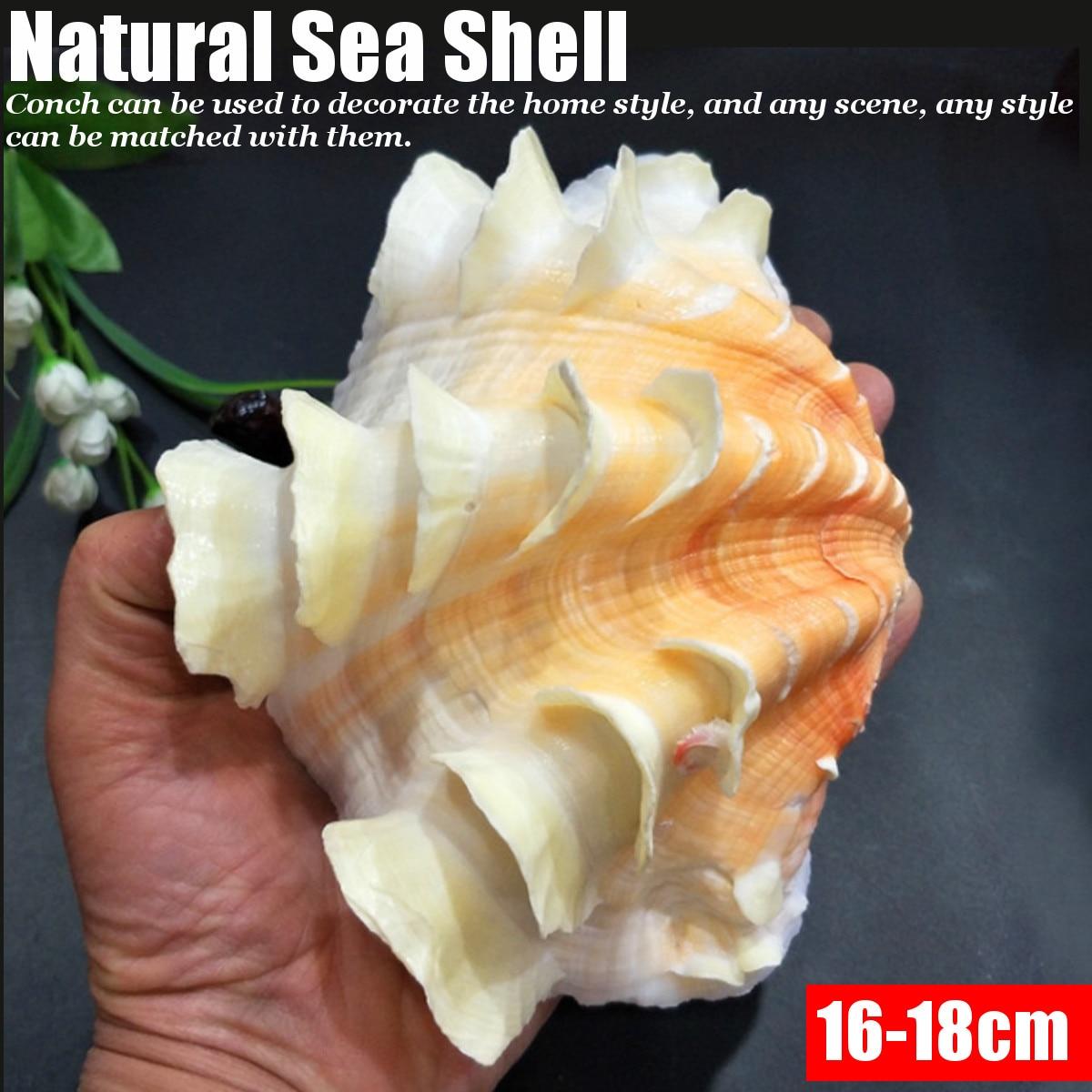 16-18cm Natural Sea Shell Conch Collectible Seashell Home Furnishing Marine Sea Decor Fish Tank Accessories Aquarium Decoration