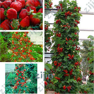 Bonsai Strawberry-Plant Best-Selling Climbing 500pcs with SALUBRIOUS Taste--Non-Gmo Red