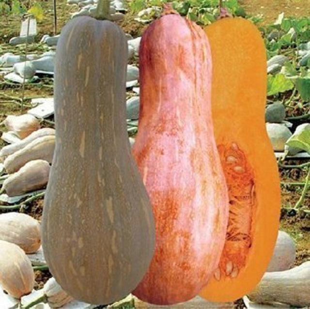 Featured honey pumpkin bonsai 5 bonsais  organic vegetable bonsai