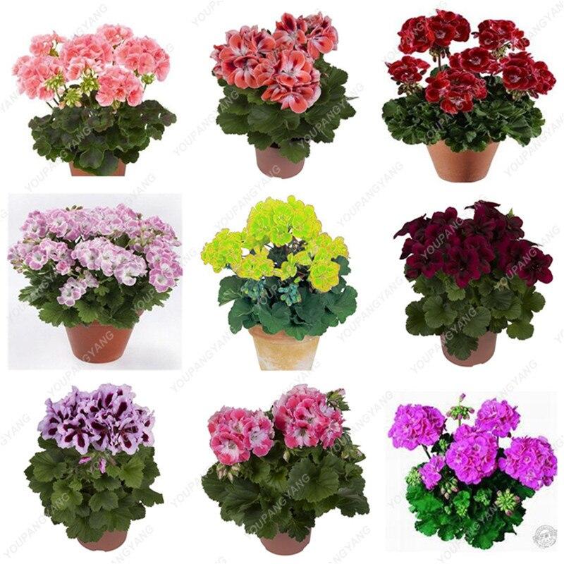 50 stk Sjældne sande geranium dværg træer blandet farve blomst balkon blomster årstider pelargonium i potter dværg træer til ...