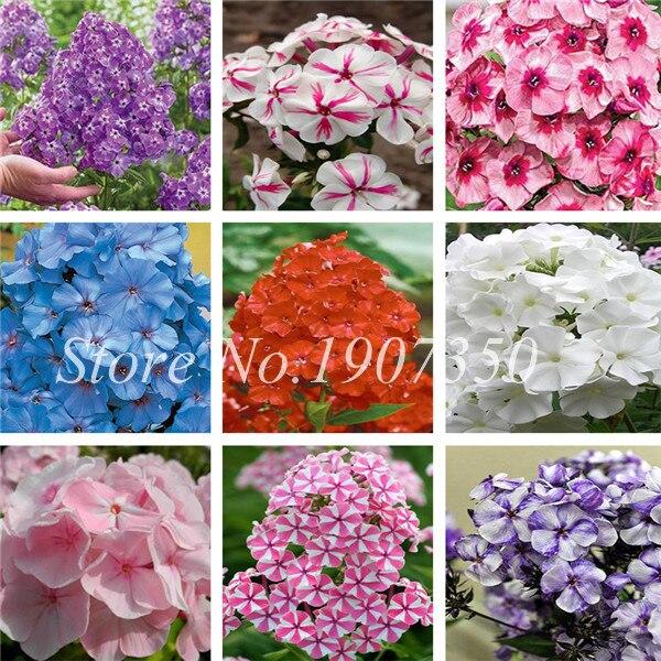 Смешанный Флокс Бонсай цветочных растений 120 шт. завод Флокс друммонда так редко Красота ваш сад