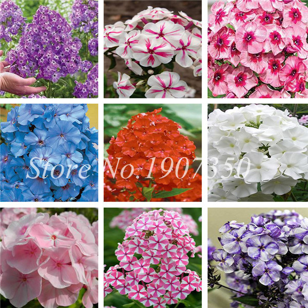 Mixed Phlox Bonsai Flower Plants 120 Pcs Plant Phlox Flower Phlox Drummondii So Rare Beauty Your Garden