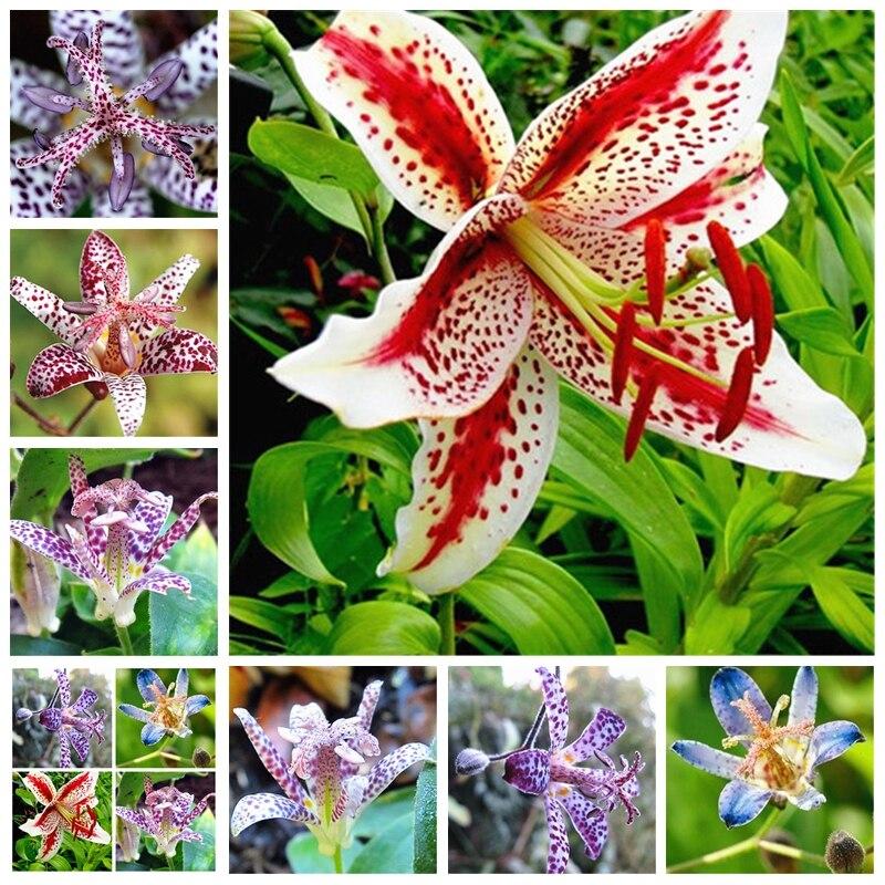 10 шт. импортные жаба Лилия Открытый Очаровательный многолетний бонсай горшках цветок лилии озеленение сад завод (da hua xuan cao)