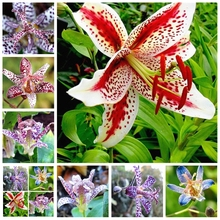 10pcs Imported Toad Lily Plant Outdoor Charming Perennial Bonsai Potted Lilum Flower Landscaping Garden (da hua xuan cao)