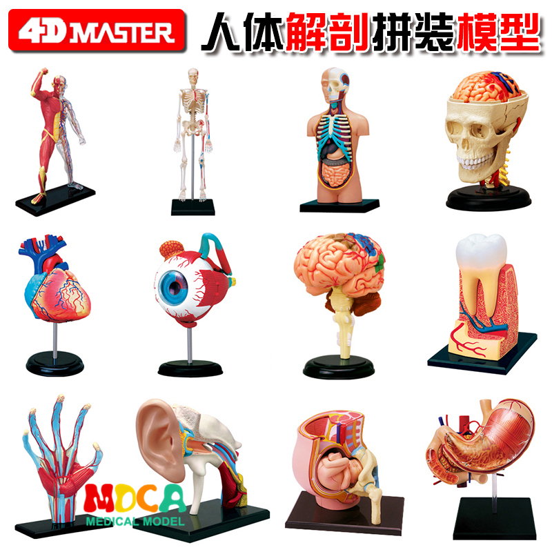 4d Master Puzzle Assembling Toy Human Body Organ Anatomical Model Medical Teaching Model