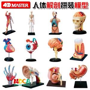 4d master puzzle Assembling toy human body organ anatomical model medical teaching model(China)