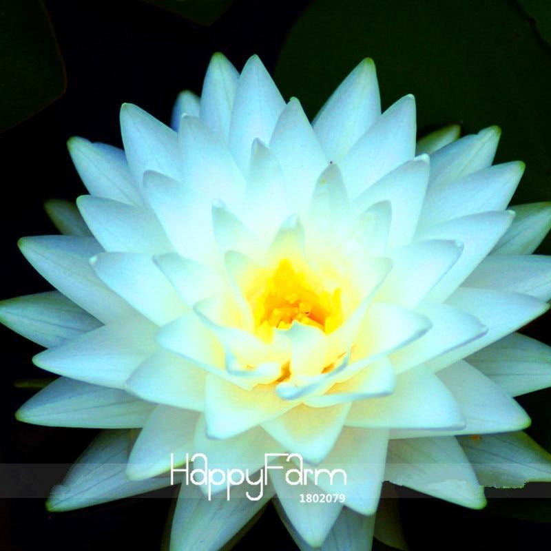 Time-Limit!!1 Pcs / Bag, Big Snow White Lotus Flower Nelumbo Pond Plants Bonsai,#Q8H1CU