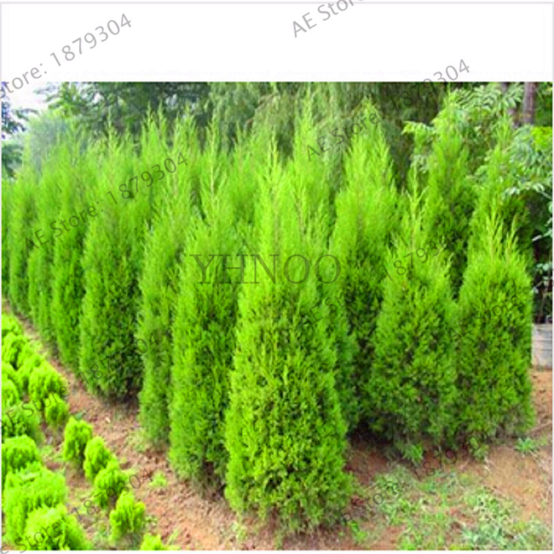 New 2018 20 Pcs Cypress Tree Bonsai Italian Cypress Cupressus Sempervirens Stricta Plant Conifer Flores Diy Home Garden F Buy At The Price Of 0 26 In Aliexpress Com Imall Com