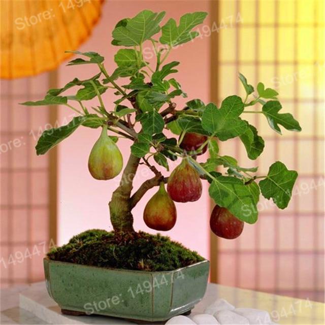 100 шт Редкие тропические садовые мини фиг дерево бонсай растение Флорес Редкие фруктовые плантации для дома посадки прорастания