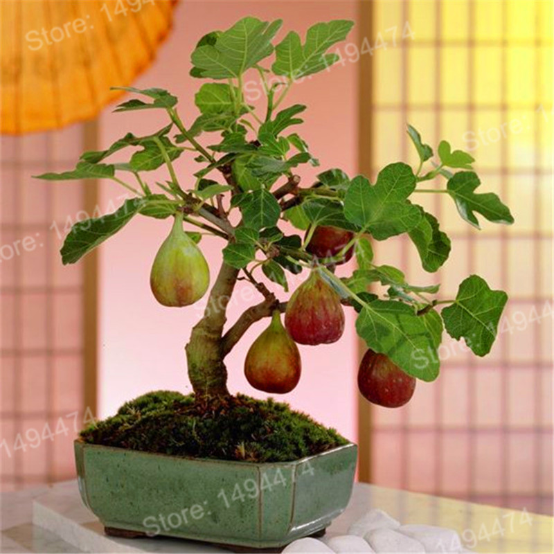 100pcs Rare Tropical Fig Garden Mini Fig Tree Bonsai Plant Flores Rare Fruit Plantas For Home Planting Germination