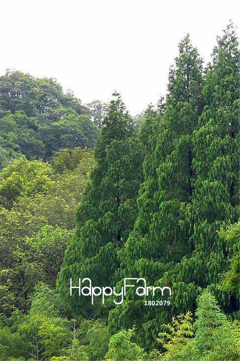 10 יח'\אריזה חדש הגעה! Metasequoia glyptostroboides, סצ שלפני מבול כוניפאר עציצים בונסאי עץ גן