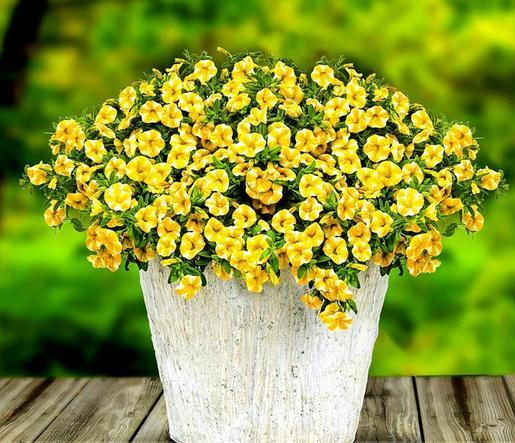 Лимон Slice Superbells calibachoa Петуния однолетняя цветок карликовые деревья, Professional Pack, 100 шт./упак. E3302