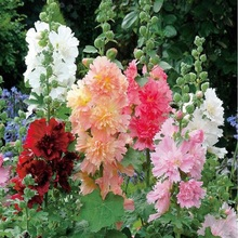 Real Sementes Factory Price Cheap New Home Garden bonsai 20pcs/lot Hollyhock Country Romance Mix Alcea Rosea Flower