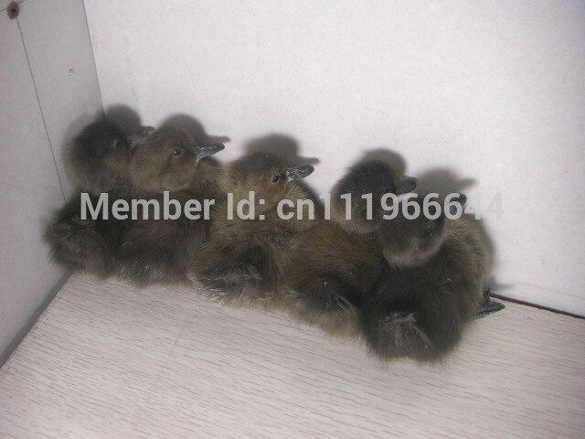 Taxidermy of 5 Real duck duckling Cute Stuff Bird Black