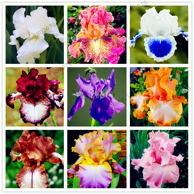 50pcs/bag Mixed Color Iris Flower Bonsai,Rare Flower Flores Bearded Iris Plantas, Nature Plants Orchid Flower DIY For Garden