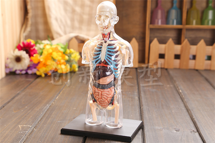 Assembled Transparent Human Torso Human Anatomy Model 4D Bust Male Body Head Musculoskeletal Anatomy Science Model