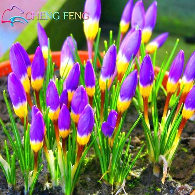 Netherlands Saffron Flower bonsai Rare Diy Plant Bonsai * Organic Garden Semillas Flowering Plants Sementes 100 Particles / Lot