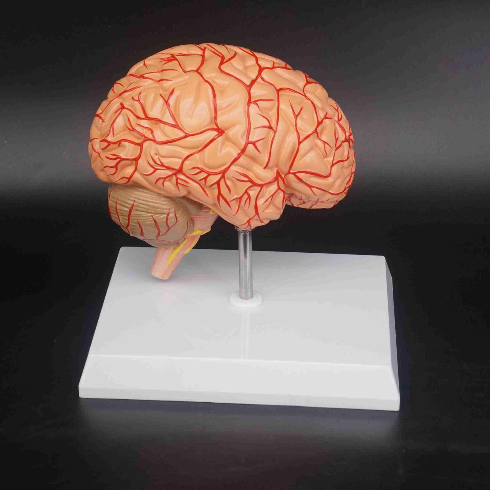 Humain droit cerveau vaisseau sanguin affichage médical modèle anatomique de luxe spécimen fournitures de Science médicale