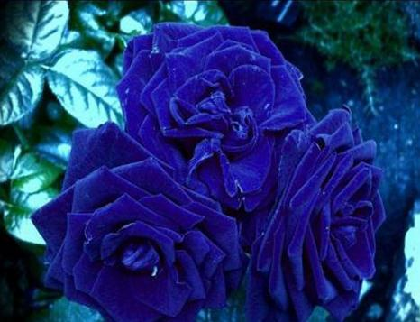 20pcs / Pack Rare Heirloom 3-flower Blue Damask Rose Bush Flower Bonsai Fragrant New Year Flower #nf636 Professional Pack