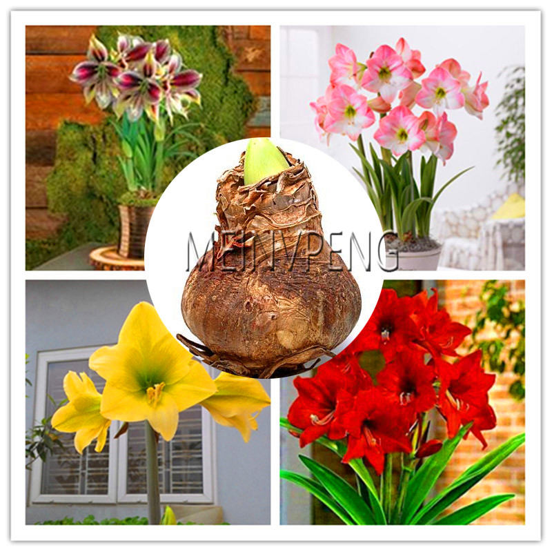 New Plantas 2018!Super Big Bulb True Amaryllis Bulbs,hippeastrum Flowers Bulbs Rare Bonsai Plants Barbados Lily Potted Home Gar