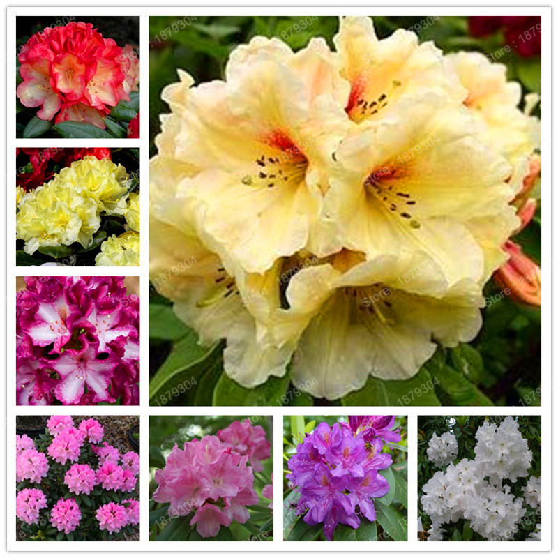 Hot Fresh Rhododendron Plants beautiful Garden Plant Bonsai Rare Flower Plantas The Germination Rate 95% High Quality 200pcs/ Big Clearance Sale