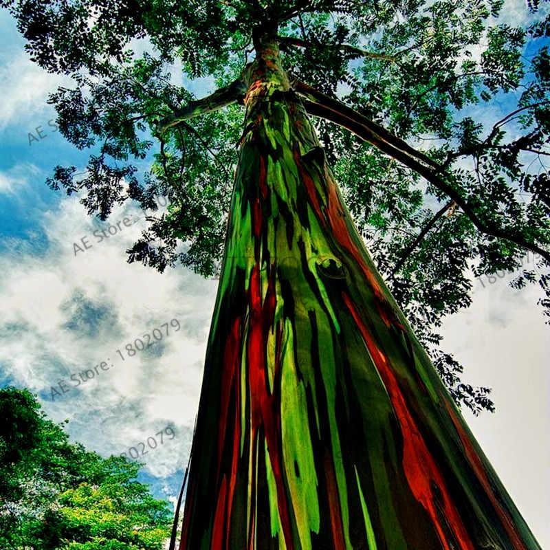 100 قطعة/الحقيبة نادر قوس قزح الكافور deglupta بونساي ، مبهرج الاستوائية شجرة النباتات ، الكافور النباتية لل حديقة النبات