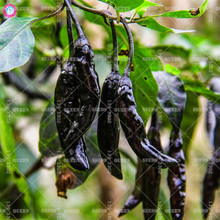 100pcs black chili pepper seeds Hot organic vegetable seeds Edible plants for spring farm supplies Best packaging Easy to grow