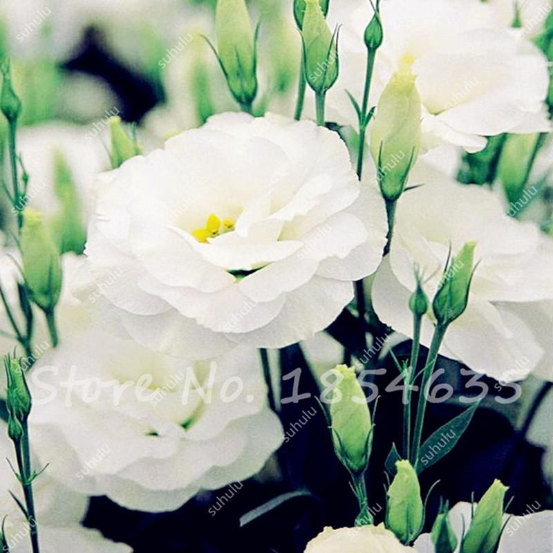 unids blancas raras semillas eustoma semillas de plantas de interior lisianthus para jardineras