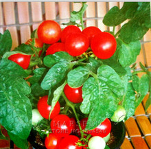 Mixed Tomato Seeds Many Varieties of Optional Heirloom Vegetable Seeds Rapid Growth High Germination Rate Free Shipping