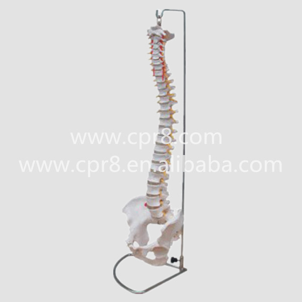 BIX-A1009 Vertebral Column Spine Model With Pelvis Model G193 vertebral column model with pelvis femur heads and sacrum 45cm spine model with intervertebral disc