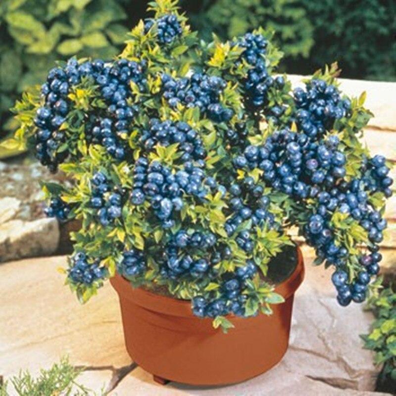 Online Get Cheap Blueberry Season -Aliexpress.com   Alibaba Group