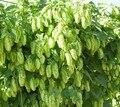 100/saco de Humulus Lupulus Lúpulo Sementes de Preparar Sua Própria Cerveja Hoje-Retorna Ano Após Ano-Plantas Formam rizomas