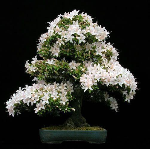 unidspack jasmine semillas bonsai semillas de flores blancas de rboles en macetas para