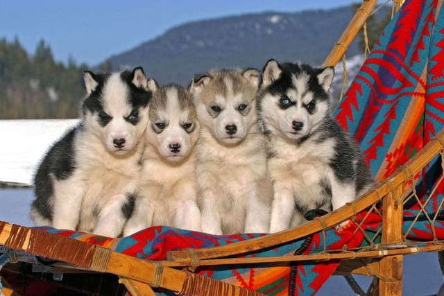 Puppies Siberian Husky Cute Black And White Hair Blue Eyes Animal
