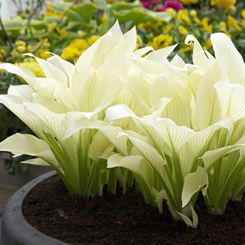 fragrant white flowers reviews  online shopping fragrant white, Natural flower