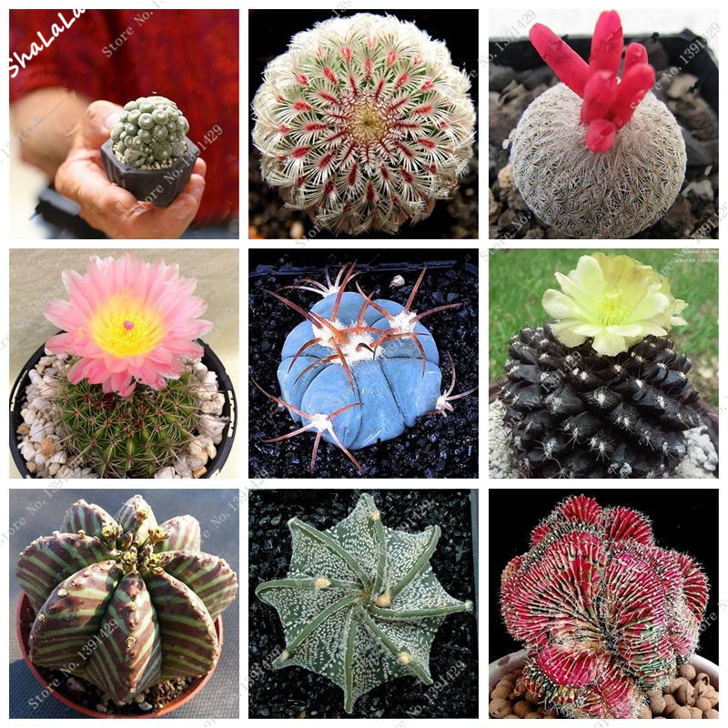 200 Bonsai Flowers Indoor Fleshier Plant Lithops Succulent Seed,Bonsai Cactus Plant Home Garden Purify The Air Prevent Radiation