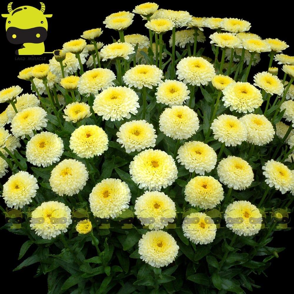 Rare Tasso Luna Shasta Daisy Flower Seeds 100 Seedspack Double