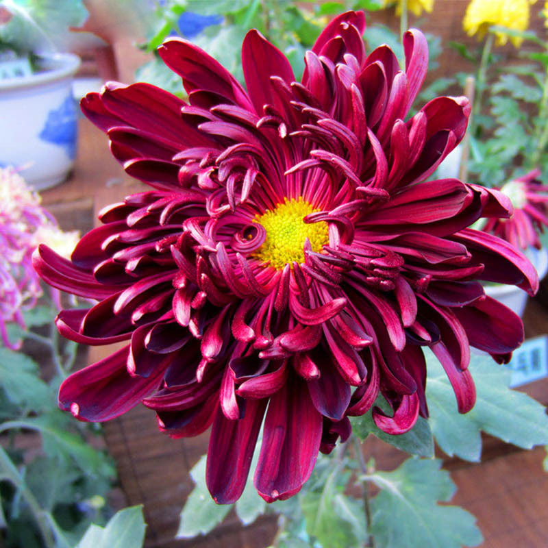 Rare Red Wine Chrysanthemum Seeds Chrysanthemum Morifolium