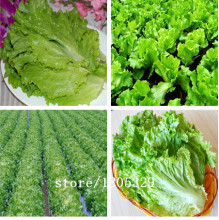GGG Butter lettuce seeds, purple butter lettuce, organic vegetables, 100 days maturity - 50 seeds/bag