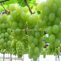 Courtyard Plants , Delicious Fruit seed , Gold Finger Grape Seeds 30seeds/bag