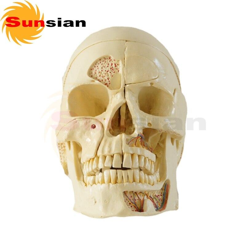 112029 Skull Model 10 Parts ,human anatomical skull model,model of the medical skull
