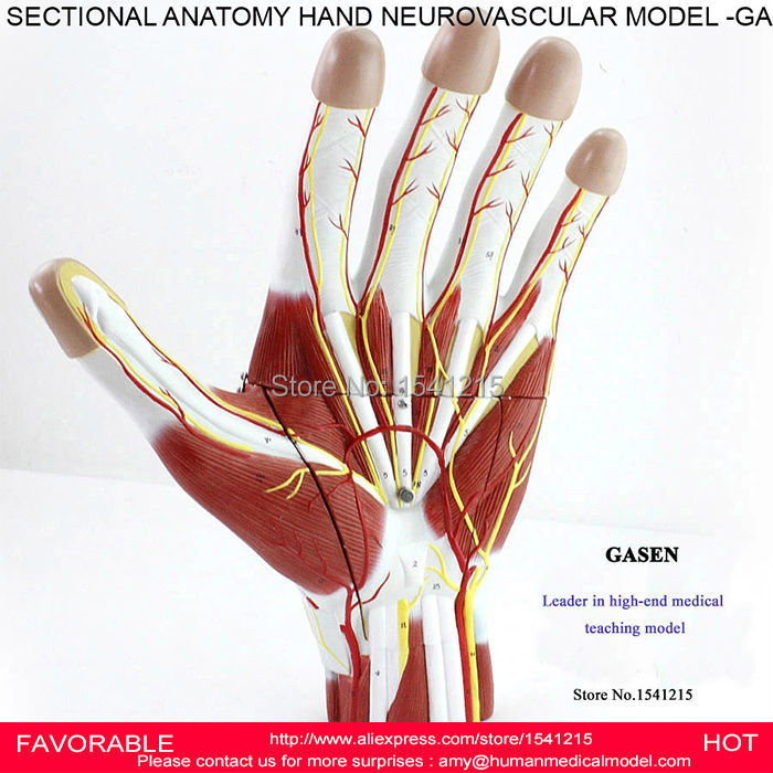 HAND SECTIONAL ANATOMY OF NERVES AND BLOOD VESSELS MODEL,PALM ...
