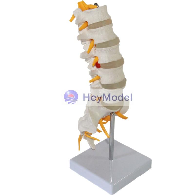 HeyModel Five lumbar sacral model cauda equina nerve model sciatic nerve spine nerve skeletal model lumbar cauda equina type I some nerve