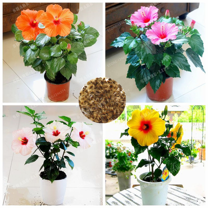 100 Pcs/Bag Mini Hibiscus Flower Bonsai Rare Chinese Rose Bonsai Bonsai DIY Home Garden Flower Plant Easy To Grow fake rose flowers