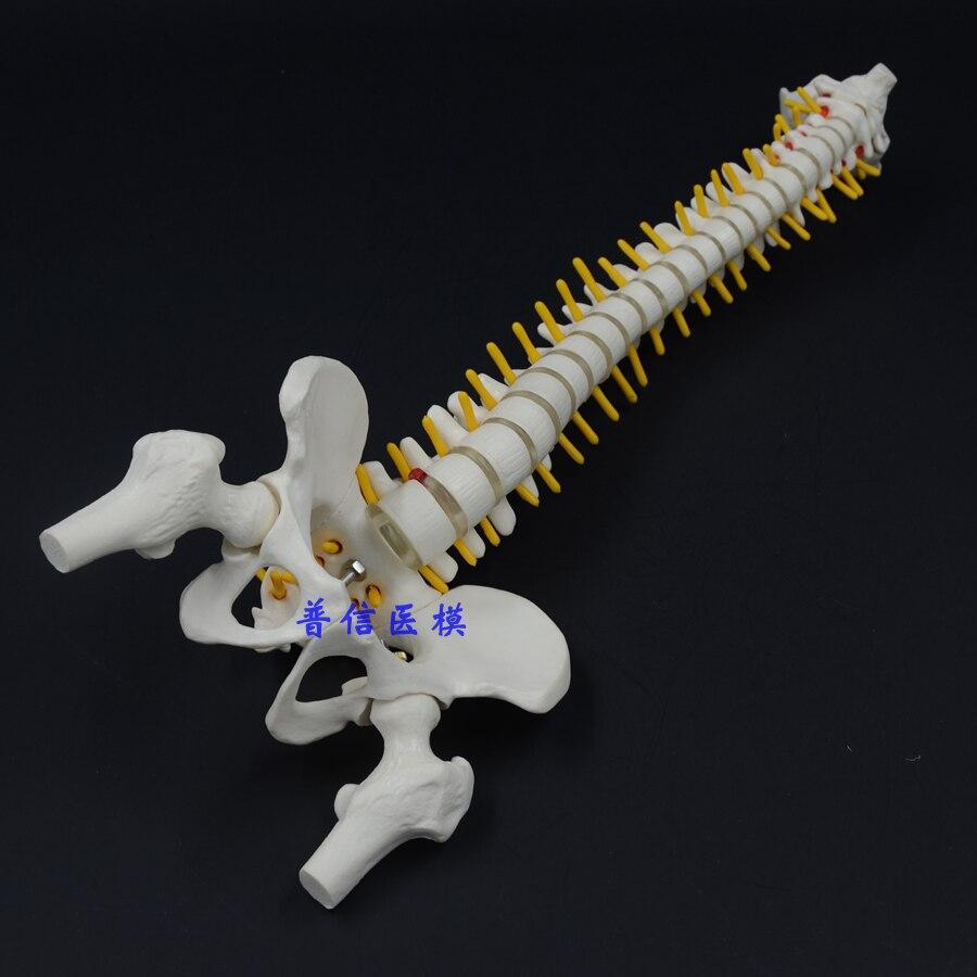 DongYun marque squelette d'os de colonne vertébrale humaine modèle 45 cm posture assise modèle fournitures d'enseignement de la Science médicale